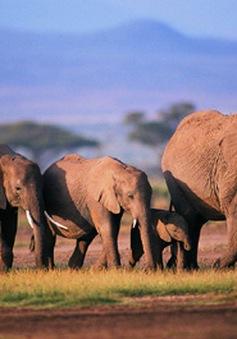 Kenya tiêu hủy 105 tấn ngà voi