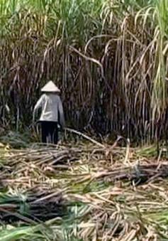 Mía ngập nước, giá nhân công thu hoạch tăng cao