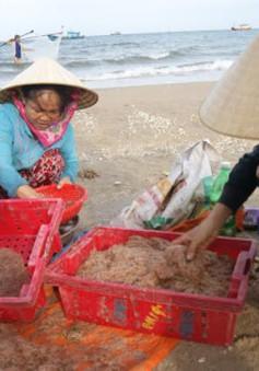 Ngư dân Quảng Bình được mùa ruốc biển nhưng giá giảm