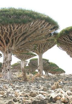 Khám phá Socotra - Hòn đảo được ví như hành tinh khác trên Trái đất