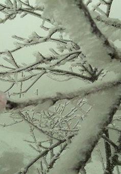 Hoa đào vừa chớm nở đã đóng băng trong tuyết ở Nghệ An