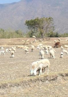Thiếu thức ăn cho gia súc vùng khô hạn Tây Nguyên