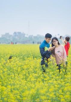 Rực rỡ cánh đồng hoa cải quê lúa Thái Bình