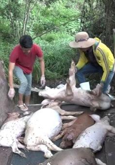 Bình Phước yêu cầu DN xử lý hậu quả vứt lợn chết ra môi trường