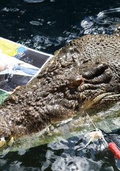 Australia: Cá sấu dự báo ông Malcolm Turnbull thắng cử