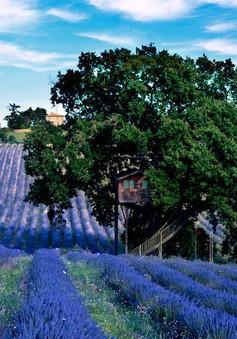 Vẻ đẹp độc đáo của ngôi nhà cây nằm giữa cánh đồng hoa oải hương