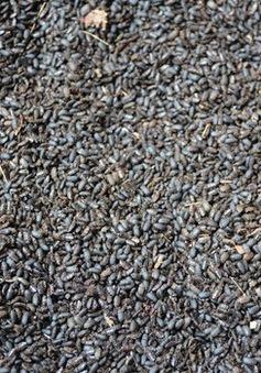 Nạn bọ đậu đen bùng phát tại ĐBSCL