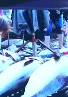 Giá cá ngừ nhập khẩu rẻ hơn trong nước: Ngư dân gặp khó