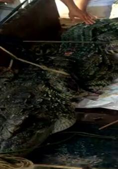 Hà Nội: Bất ngờ bắt được cá sấu dài 3m, nặng gần 1 tạ ở đầm nước