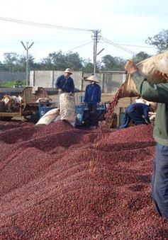 Bất chấp thiên tai Đắk Lắk vẫn thu hoạch gần 453.000 tấn cà phê