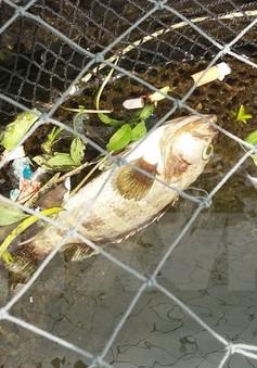 Cá biển Nghi Sơn chết do hiện tượng tảo nở hoa