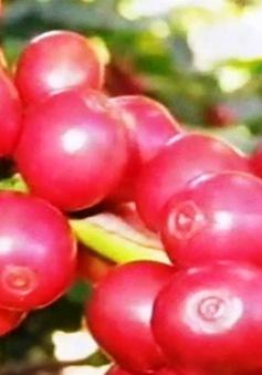 Việt Nam đứng thứ tư về tổng lượng tiêu thụ cà phê