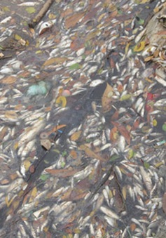 Cá chết hàng loạt tại miền Trung do độc tố môi trường