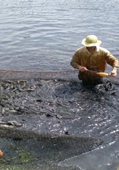 Giá cá lóc tại Trà Vinh giảm mạnh
