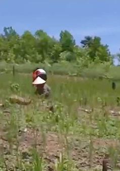 TT-Huế: Người dân ồ ạt chặt bỏ cây cà phê