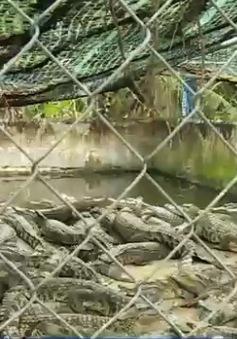 Cà Mau: Tồn đọng hơn 5.000 con cá sấu