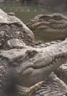 Giá cá sấu tại ĐBSCL giảm kỷ lục