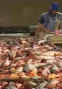 Xuất khẩu cá tra sẽ giao dịch qua Internet