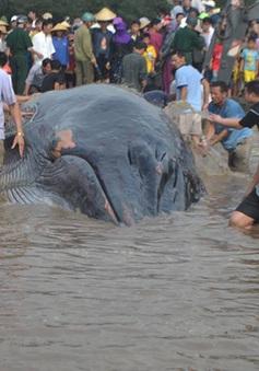 Cá voi 15 tấn mắc kẹt ở bờ biển Nghệ An