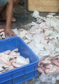 Vĩnh Long: Phát hiện 850kg cá điêu hồng bốc mùi tại quán ăn