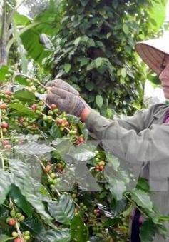 Thu hoạch cà phê gặp khó do mưa nhiều