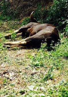 Thêm một cá thể bò tót chết trong khu bảo tồn ở Đồng Nai
