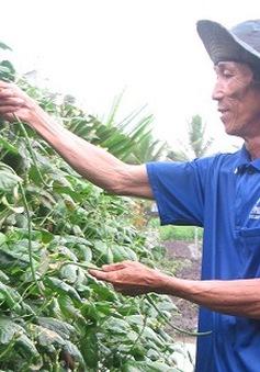 Tiền Giang: Hạn mặn khốc liệt, rau tăng giá mạnh