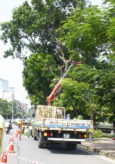 Dịch chuyển hàng cây xanh phố Kim Mã để xây đường sắt Nhổn – ga Hà Nội