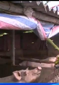 Hải Phòng: Phụ thuộc thương lái, nông dân chặt bỏ cây chuối