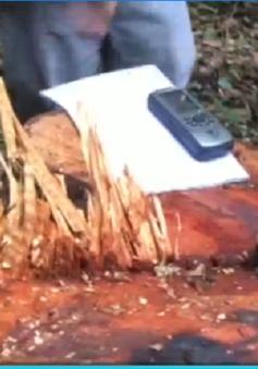 Phá băng nhóm chuyên cưa cây cổ thụ trong rừng phòng hộ tại Lâm Đồng