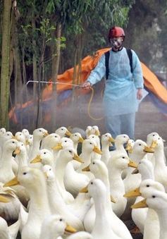 Bùng phát dịch cúm gia cầm tại Quảng Ngãi