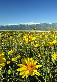 Đẹp mê cánh đồng hoa dại tại Thung lũng chết, California