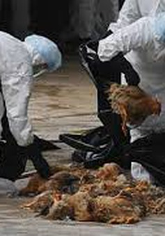 Phát hiện ổ dịch cúm A/H5N6 tại Quảng Ngãi