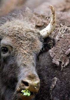 Bò rừng Bison trở thành biểu tượng của Mỹ