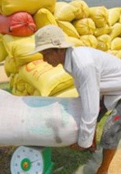 Giá lúa gạo sụt giảm bất thường ở ĐBSCL