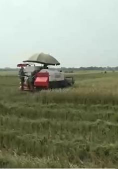 Các tỉnh ven biển gặt lúa màu tránh bão