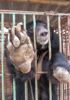 Khánh Hòa: Người dân bất an vì sự xuất hiện của gấu rừng
