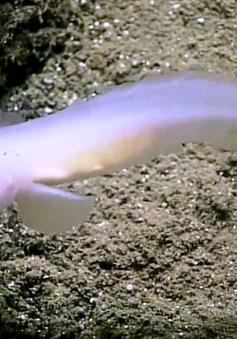Lần đầu tiên phát hiện loài cá ma còn sống