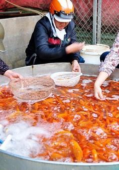 Giá cá chép cúng ông Công, ông Táo tăng cao do trời lạnh kéo dài