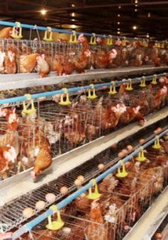 Giá thu mua gà tăng nhẹ dịp cận Tết