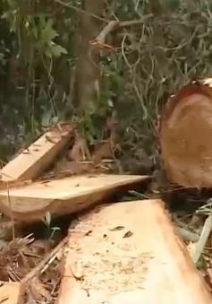 Vụ phá rừng pơ mu: Tỉnh Quảng Nam nhận định có dấu hiệu bao che, dung túng