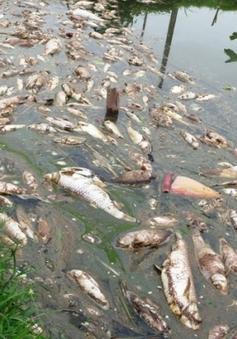 Hàng tấn cá chết trắng bè bất thường tại Đồng Nai