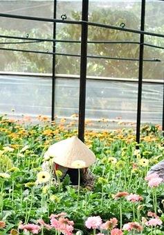 Người trồng hoa Đà Lạt bị ép giá khi bán ký gửi