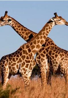 Hươu cao cổ tại châu Phi bên bờ vực tuyệt chủng