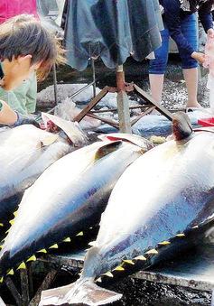 Sản lượng cá ngừ nhập khẩu cao gấp 3 lần sản lượng đánh bắt