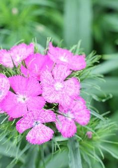 Làng hoa Tây Tựu rực rỡ vào mùa hoa Tết