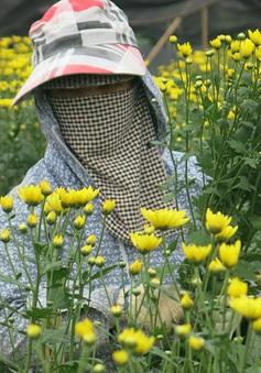 """Hoa Ly nở sớm, người trồng hoa Tây Tựu """"mếu máo"""""""
