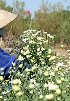 Người trồng hoa Nhật Tân phấn khởi vì cúc họa mi được mùa, được giá