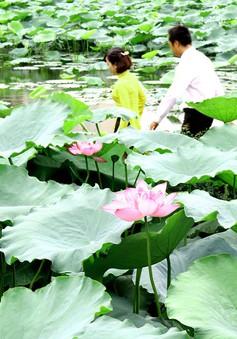 Vẻ đẹp tinh khôi của hoa sen nở muộn giữa lòng Hà Nội