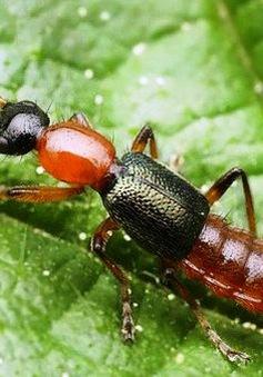 Độc tính trong kiến ba khoang mạnh gấp 12 - 15 lần nọc của rắn hổ